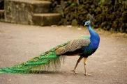 Peacock M. Harry Smilac